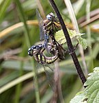 Mating Dragonflies 2 (3925704753).jpg