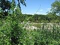 Maurandya Antirrhiniflora, Snapdragon Vine. (The purple flowers) - panoramio (1).jpg