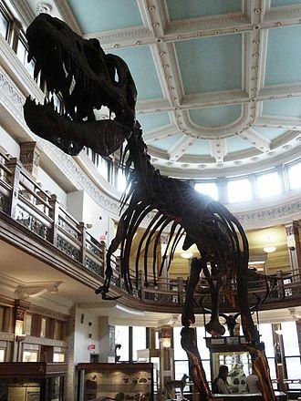 Redpath Museum - Image: Mcgill redpath m albertosaurus