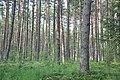 Mežs, Babītes pagasts, Babītes novads, Latvia - panoramio (5).jpg