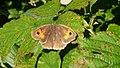 Meadow Brown Grosses Ochsenauge (3781026375).jpg