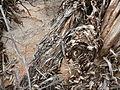 Melaleuca delta (more bark).JPG
