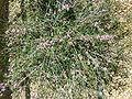 Melaleuca gibbosa (Myrtaceae) plant.JPG