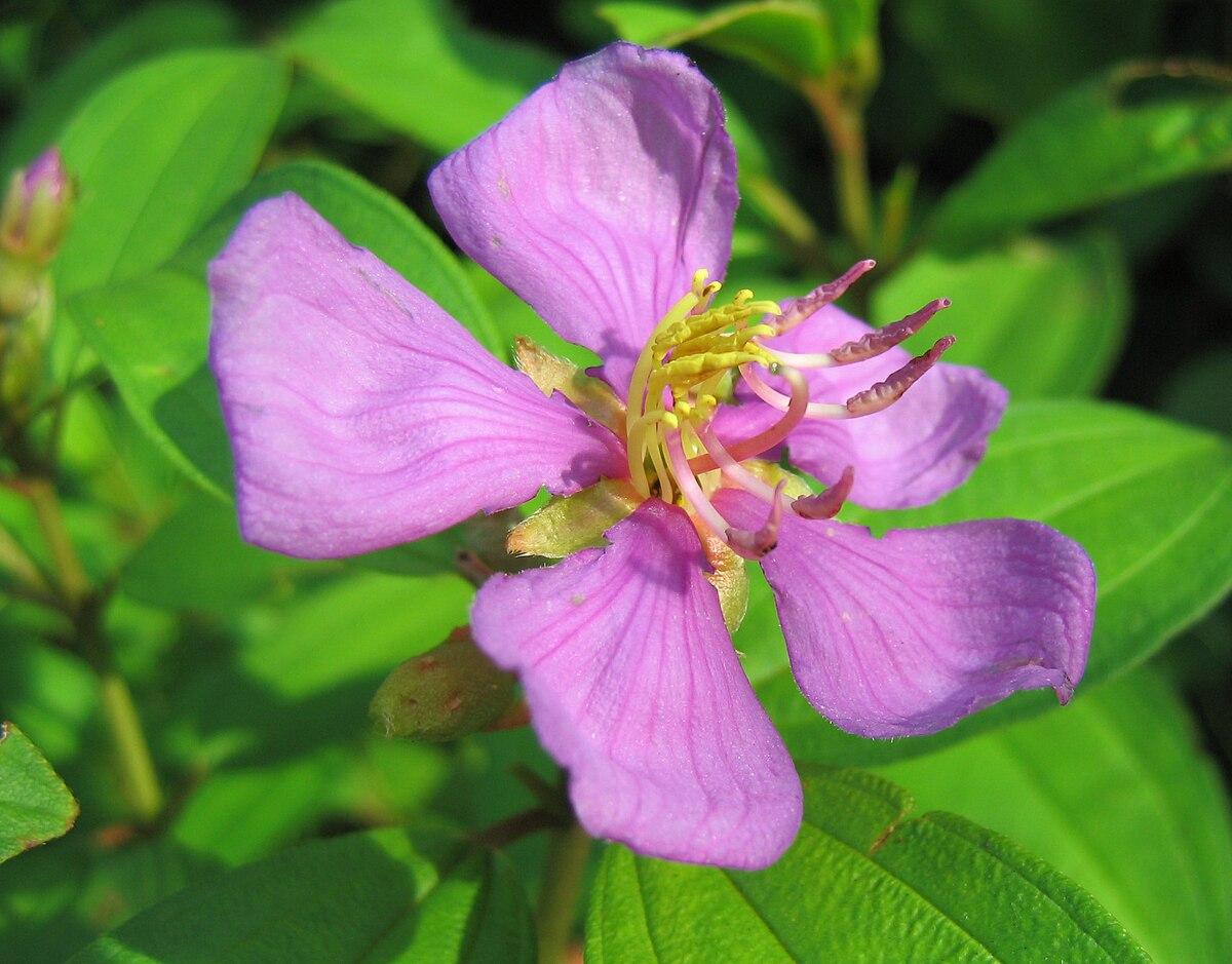 Melastoma malabathricum L, bahan yang digunakan dalam pembuatan tinta ungu.