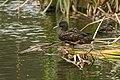 Meller's Duck - Lac Alarobia - Madagascar S4E6823 (15284609001).jpg