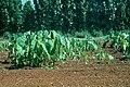 Meloidogyne javanica on Colocasia esculenta field.jpg