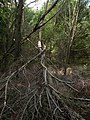 Merzse Marsh Nature Trail, 10th station area, tree broken by the storm, 2016 Rákosmente.jpg