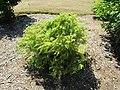 Metasequoia glyptostroboides 'Matthaei Broom' (28187712524).jpg