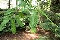 Metasequoia glyptostroboides 06.jpg