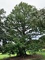 Metasequoia glyptostroboides in the Morris Arboretum 02.jpg