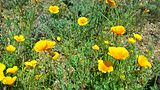 Mexican Poppies blooming outside the El Paso Museum of Archaeology.