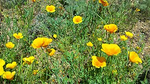 El Paso Museum of Archaeology - Image: Mexican poppies at the El Paso Museum of Archaeology