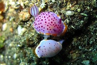 <i>Mexichromis mariei</i> species of mollusc