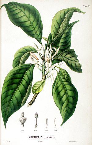 Magnolia × alba - Image: Michelia longifolia from Blume Flora Javae