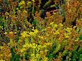 Milfoil Minsk Botanic Garden.jpg