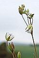 Minuartia hybrida varr. vaillantiana 01.JPG