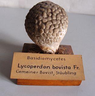 Modell von Lycoperdon bovista (Gemeiner Bovist, Stäubling)