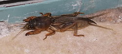 Mole cricket03.jpg