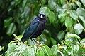 Molothrus bonariensis (Chamón parásito) - Flickr - Alejandro Bayer.jpg