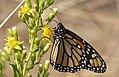 Monarch or Milkweed Butterfly. Danaus plexippus (32309257523).jpg