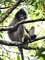 Monkey Perched on Tree - Lawachara National Park - Outside Srimangal - Sylhet Division - Bangladesh (12924473735).jpg