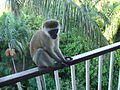 Monkey visiting hotel balcony, Nyali Beach Hotel, Mombasa - Kenya, April 2009. (6115260990).jpg