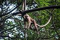 Mono del Tayrona.jpg