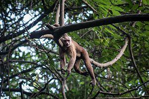 Santa Marta Capuchin Monkey in Tayrona National Park