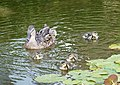 More Baby Ducks (48369581242).jpg