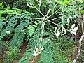 Moringa - മുരിങ്ങ പൂവും മൊട്ടും.JPG
