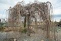 Morus alba Pendula Blumengärten Hirschstetten 2016-02-26 b.jpg