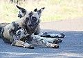 Mosetlha, Madikwe Game Reserve, South Africa (39899452013).jpg