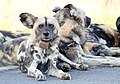 Mosetlha, Madikwe Game Reserve, South Africa (46864116321).jpg