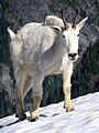 Mountain Goat North Cascades National Park.jpg