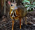 Mouse-deer Singapore 2012 (cropped).JPG