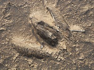 Kuwaiti oil fires - A 2008 picture of the mummified remains of a bird, encrusted within the top hard layer of a dry oil lake in the Kuwaiti desert.