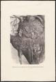 Muscardinus avellanarius - nest - 1700-1880 - Print - Iconographia Zoologica - Special Collections University of Amsterdam - UBA01 IZ20400179.tif