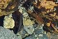 Mussels (Mytilida) and Amphipod - Crow Head, Newfoundland 2019-08-15.jpg