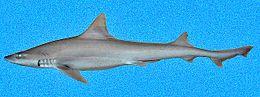 grey nurse shark relationship with humans