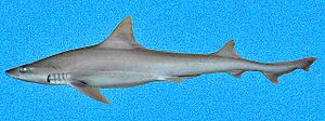 Dusky smooth-hound - Image: Mustelus canis SI2