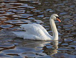 Mute Swan Emsworth2.JPG