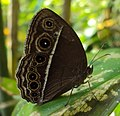 Mycalesis mineus - Dark-branded Bushbrown 04.JPG