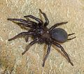 Mygalomorphae, Macrothele calpeiana - Flickr - gailhampshire.jpg