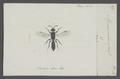Myrmosa - Print - Iconographia Zoologica - Special Collections University of Amsterdam - UBAINV0274 043 04 0020.tif