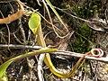 N. ramispina slender.jpg