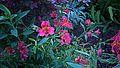 N20141114-0006—Alstroemeria × hybrida—Berkeley (15890892412).jpg