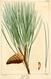 NAS-134 Pinus resinosa.png