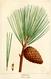 NAS-143 Pinus rigida.png