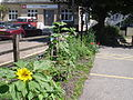NBA Newport Station sunflowers July 2012.JPG