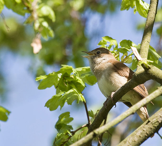 Bülbül kuşu bülbül resimleri bülbül